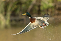 Mallard Duck Taking Off Stock Images