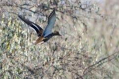 Mallard Duck Taking to Flight Stock Photos