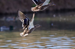 Mallard Duck Taking to Flight From the Water. Female Mallard Duck Taking to Flight From the Water Royalty Free Stock Image