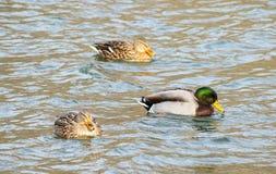 Mallard Duck Trio. A trio of Mallard ducks swim together Royalty Free Stock Photography