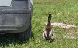 Mallard Duck walk away. Mallard Duck walk away near the car in field Stock Photography