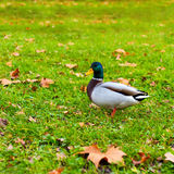 Mallard Duck. Walking on grass outdoors Stock Image