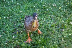 Mallard duck walking on grass Royalty Free Stock Photography