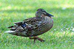 Mallard duck walking. On green grass Royalty Free Stock Photography