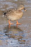 A mallard duck walking on ice Royalty Free Stock Photo