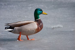 Mallard duck walking on the ice. On a pond Royalty Free Stock Photo