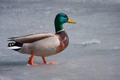Mallard duck walking on the ice Royalty Free Stock Photo