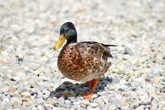 Mallard duck walking on pebbles Royalty Free Stock Images