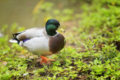 Mallard duck walking on riverbank selective focus Royalty Free Stock Photography