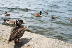 Mallard duck watching. Wild mallard duck watching other ducks and canadian geese swim in lake Royalty Free Stock Images