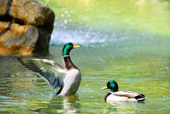 Mallard duck on water Stock Images