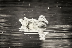 Mallard duck in the water, black and white. Mallard duck in the pond. Water ripple. Natural scene. Beauty in nature. Black and white photo Stock Photography