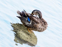 Mallard duck in water. Mallard duck cleaning in water Royalty Free Stock Image