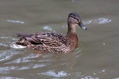 Mallard duck on the water. Mallard duck female (Anas platyrhynchos) on the water Royalty Free Stock Photo