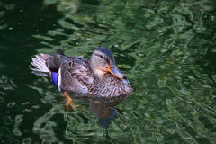 Mallard duck on water. Female mallard duck Anas platyrhynchos close up. Waterfowl bird Stock Image