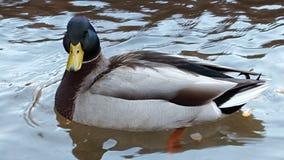 Mallard duck on water facing camera. A Mallard duck quietly paddling in a pond Stock Photos