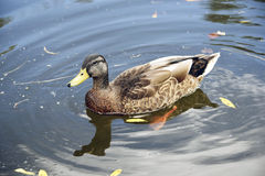 Mallard Duck on the water. Happy Mallard Duck on the river Royalty Free Stock Photography