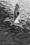 Mallard duck on water Stock Images