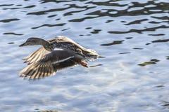 Mallard duck on water Royalty Free Stock Photos