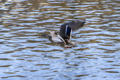 Mallard duck on water Royalty Free Stock Images