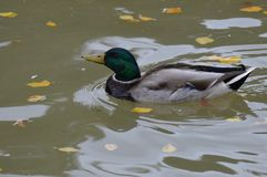 Mallard duck in the water. During the summer Royalty Free Stock Images