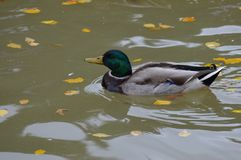 Mallard duck in the water. During the summer Stock Photography