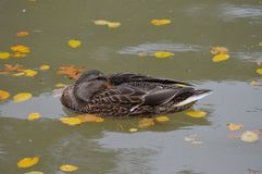Mallard duck in the water. During the summer Royalty Free Stock Photos