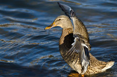 Mallard Duck on the Water with Outstretched Wings Stock Photography