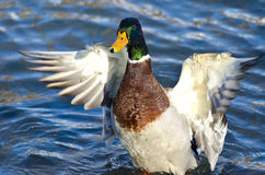 Mallard Duck on the Water with Outstretched Wings. Male Mallard Duck on the Water with Outstretched Wings Royalty Free Stock Photos
