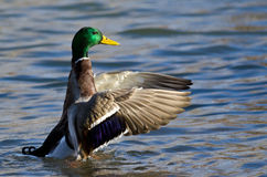 Mallard Duck on the Water with Outstretched Wings. Male Mallard Duck on the Water with Outstretched Wings Royalty Free Stock Images