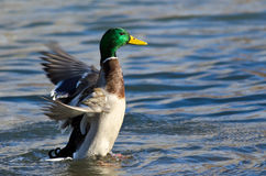 Mallard Duck on the Water with Outstretched Wings. Male Mallard Duck on the Water with Outstretched Wings Stock Photography