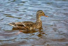 Mallard duck on water of river -Anas platyrhynchos -with drops of water from beak. Mallard duck on water of river -Anas platyrhynchos - with drops of water from Royalty Free Stock Photos