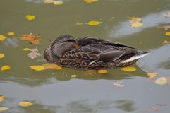 Mallard duck in the water. During the summer Stock Photo