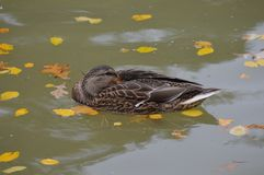 Mallard duck in the water. During the summer Stock Images