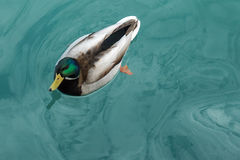 Mallard Duck on the water stock photo
