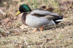 Mallard duck on the water Stock Photos