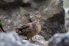 Mallard duck. Waterbird of Europe prefer living in lakes Royalty Free Stock Image