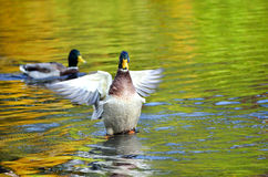 Mallard duck waving wings on the pond. The beautiful mallard duck waving wings on the pond, the water in the reflection of colorful autumn trees Royalty Free Stock Photo