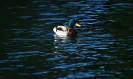 Mallard duck in a wavy water of lake. Mallard duck in a blue wavy water of lake Stock Photography