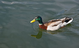 Mallard duck in a wavy water of lake Stock Photo