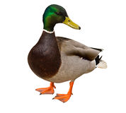 Mallard Duck on white background Royalty Free Stock Images