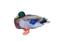 Mallard duck on white isolated background Stock Photo