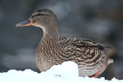 Mallard duck on white snow. Mallard duck near white snow Stock Photography