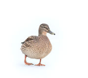 Mallard duck on white snow. Winter Stock Photos