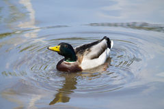 Mallard Duck. Wild Mallard Duck (Anas platyrhynchos), swimming on the water Stock Photography