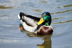 Mallard Duck. Wild Mallard Duck (Anas platyrhynchos), swimming on the water Royalty Free Stock Photo