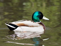 Mallard Duck. Wild Mallard Duck (Anas platyrhynchos), swimming on the water Stock Photo