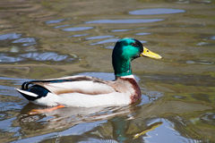 Mallard Duck. Wild Mallard Duck (Anas platyrhynchos), swimming on the water Royalty Free Stock Photography