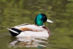 Mallard Duck. Wild Mallard Duck (Anas platyrhynchos), swimming on the water Stock Images
