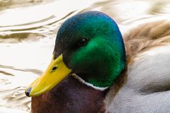 A Mallard Duck in the wild. A Beautiful Mallard in/around a lake or pond. Beautiful collors and feather detail is present Stock Image